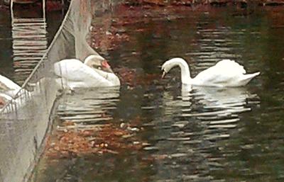 swan lake drama